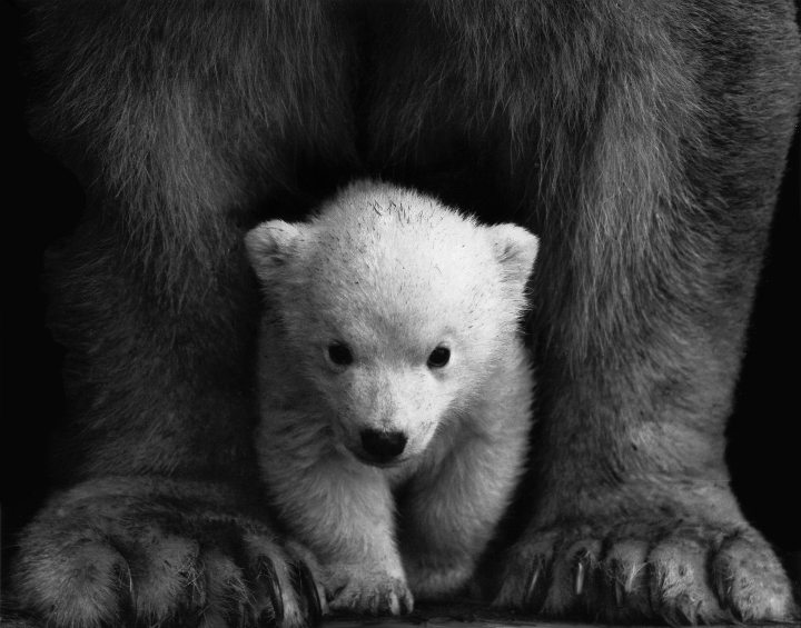 animal-animal-photography-bear-598966